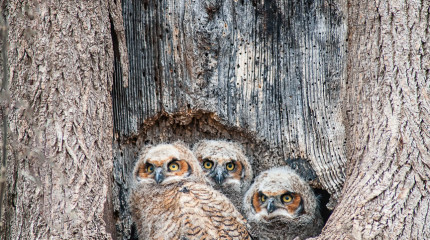 Owl Chicks-