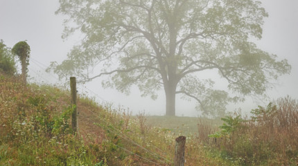Tree & Fog